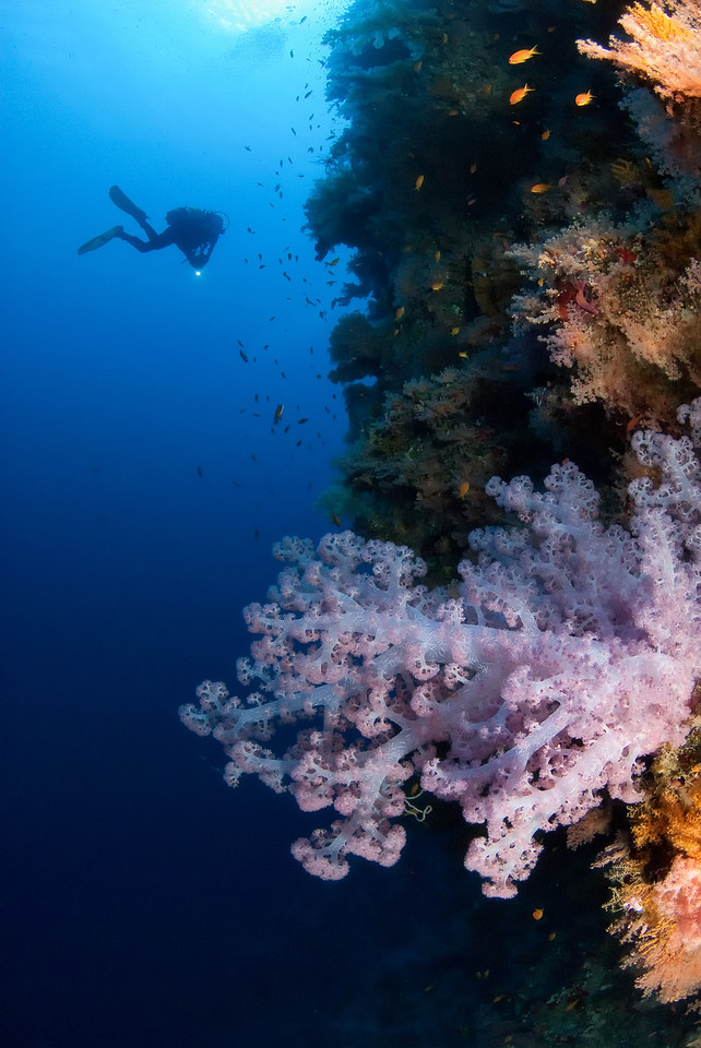 Pink soft coral. The wall at Ras Mahammed, northern Red Sea, Egypt. 2012