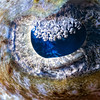 Crocodilefish eye, closeup. The barge night dive, northern Red sea, Egypt. 2012