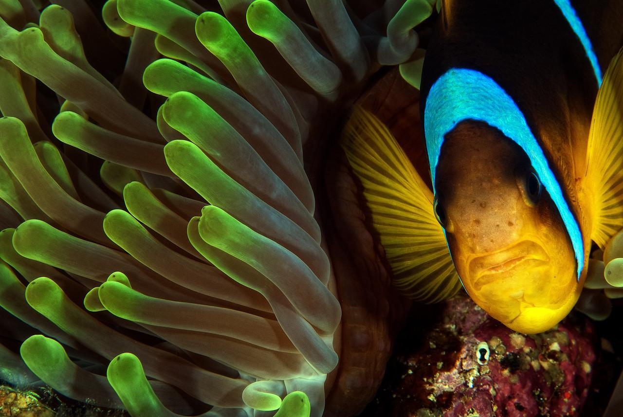 Twobar Anemonefish at anemones garden, Ras Ghozlani, northern Red Sea, Egypt. 2012
