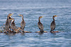 Double-crested Cormorants (Phalacrocorax auritus) in the mangroves. These are all females.<br /> <br /> March 2010.
