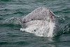 A Gray Whale takes a look at us! They seem to be very curious!<br /> <br /> March 2010.
