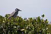 Yellow-Crowned Night-Heron in the mangroves.<br /> <br /> March 2010.