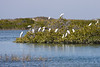 Snowy Egrets roosting in the mangroves.<br /> <br /> March 2010.