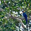 Blue Green Macaw