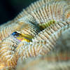 Peppermint goby on rose coral, Anse Chastanet.