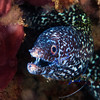 Spotted Moray, Anse Cochon (North Beach).