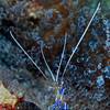 Cleaner shrimp, Anse Cochon (North Beach).