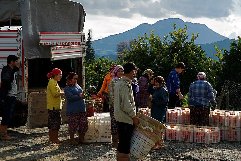 Dropping off the collected oranges for sorting. Koycegiz- Dalyan, Turkey.