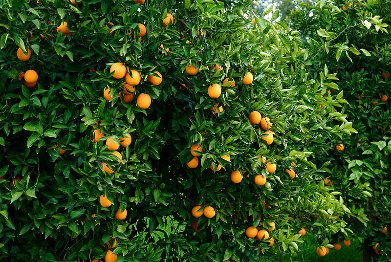 Oranges read for picking. Koycegiz-Dalyan, Turkey.