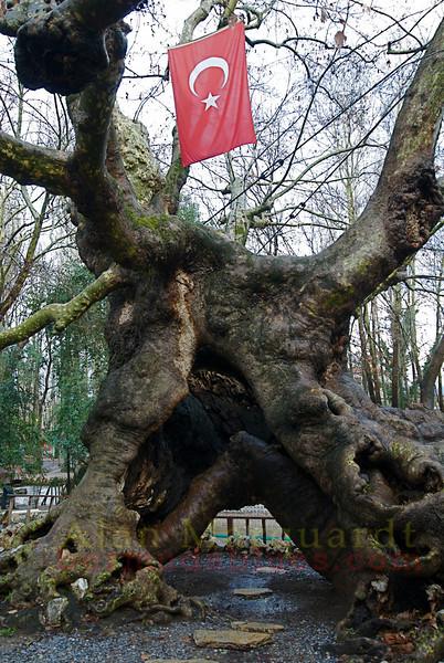 A 800 year old tree. Turkey