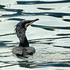 A Great Cormorant takes a chilly swim in the waters of the Bosphors Strait, Istanbul, Turkey.