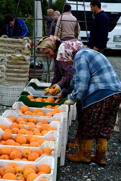 Women hand sort the good from bad, oranges. Koycegiz- Dalyan, Turkey
