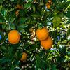 Citrus Farms