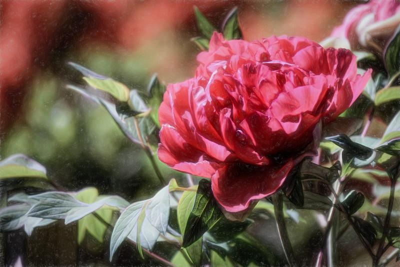 Peony Bloom