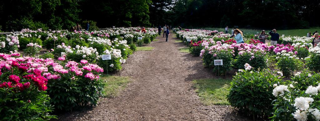 The Peony Garden at Nichol Arboretum
