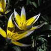 Tarda Tulip