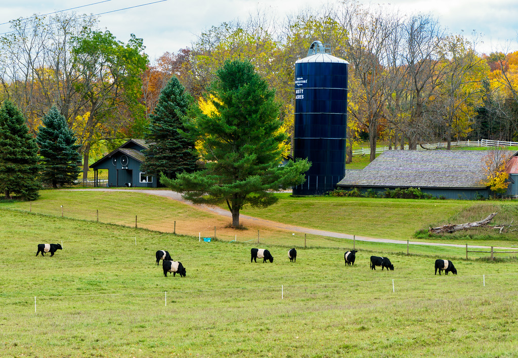 North country life with panda cows