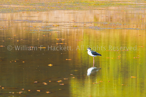 Black-necked Stilt0438