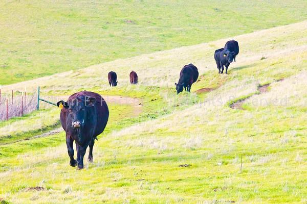 Altamont Cattle0039