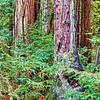 Big Basin Redwoods SP2698