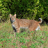 Bobcat at Arbor Hills Nature Preserve