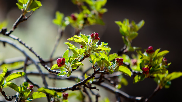 Apple blossoms, Saturday