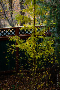 Dawn redwood, about to shed