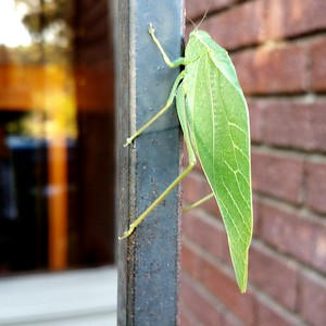 Katydid, impersonating a leaf, attached god knows how.