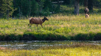 Elk cows & calf in YNP across the Madison, 02.08.18