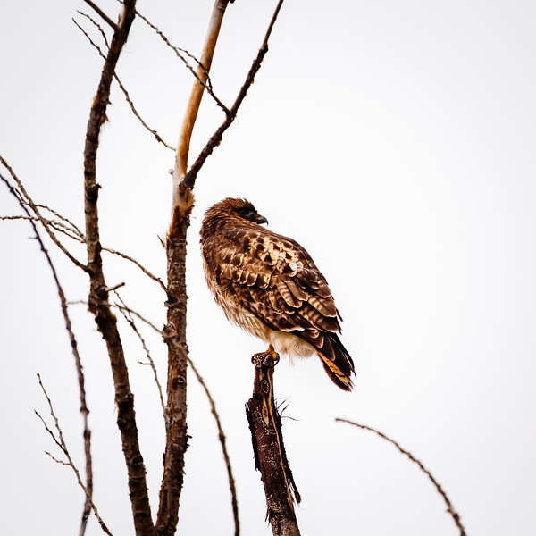Redtail in fading Cottonwood