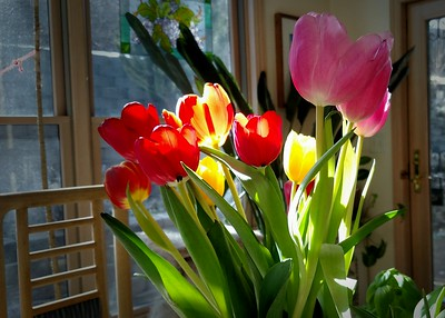 Kitchen Table Tulips - spring before the winter storm