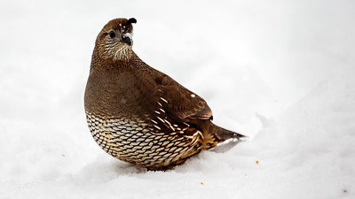 female quail - she can't possibly see me hiding in the kitchen