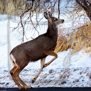 Spike buck on the move - 600mm hand held