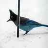 Elusive Stellar Jay - a winter visitor