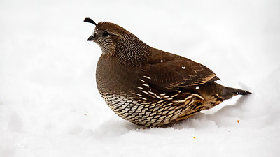 female quail - i think she sees me