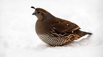 female quail - i think she sees me