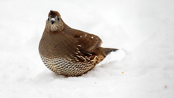 female quail