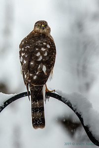 Cooper's Hawk, resting after its lunch