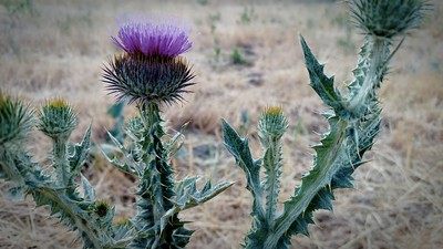 Thistle: okay in the park.