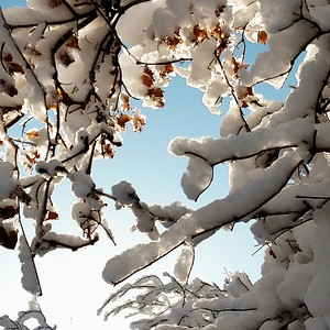 hah. snowball bush.