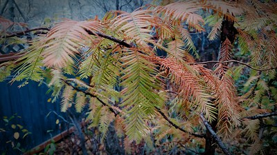 Dawn Redwood, about to drop all its foliage (not a surprise in year II)