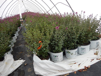 9  TENDER PLANTS ARE TUCKED IN WITH POLY BLANKET, READY TO LAY OVER HOOPS