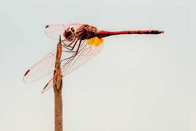 Red-veined Dropwing