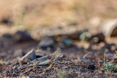 Toad-headed agamas