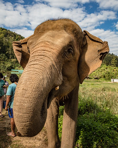 An Indian elephant eating sugar cane at an Elephant sanctuary near Chiang Mai, Thailand.
