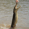 This fella is missing a leg. He probably got it eaten off him fighting with other crocs.