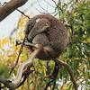 A koala sleeping in the tree!
