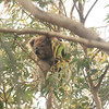 Koala sighting!