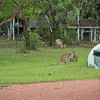 We spotted over a dozen wallabies inside the campsite at once