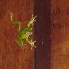 Quite an acrobatic tree frog!